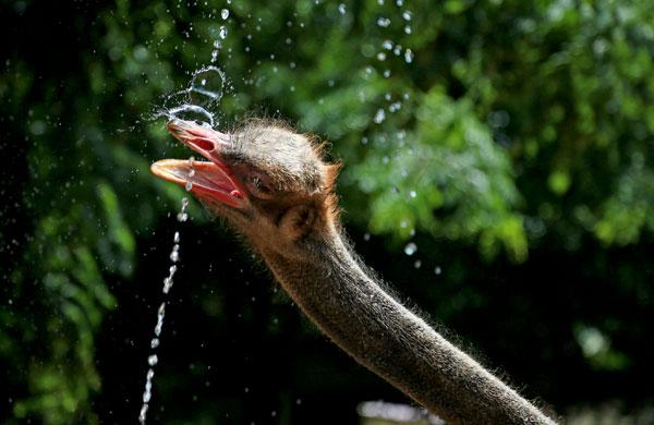 07-avestruz