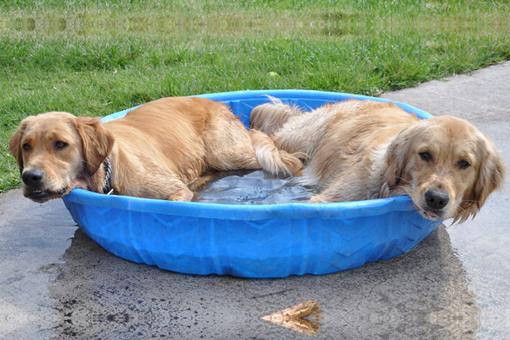 dos-perros-se-refrescan-en-una-alberca