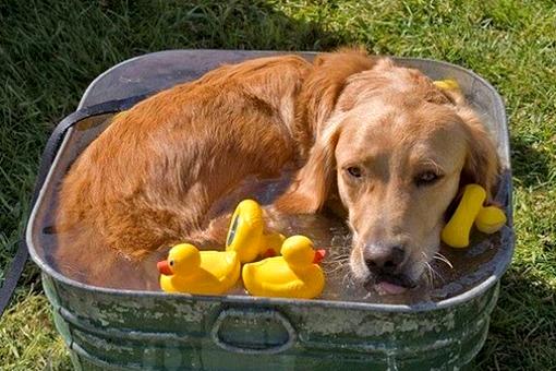 perro-se-baña-en-tina-con-patitos